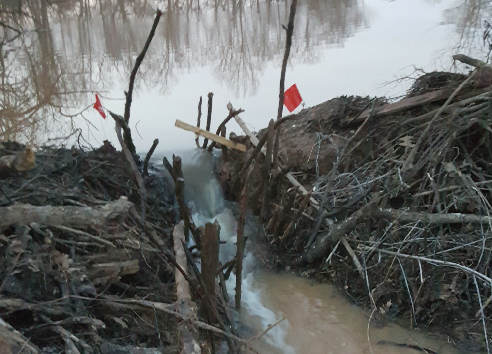 A gap in a beaver dam to lure the beaver back for repairs.