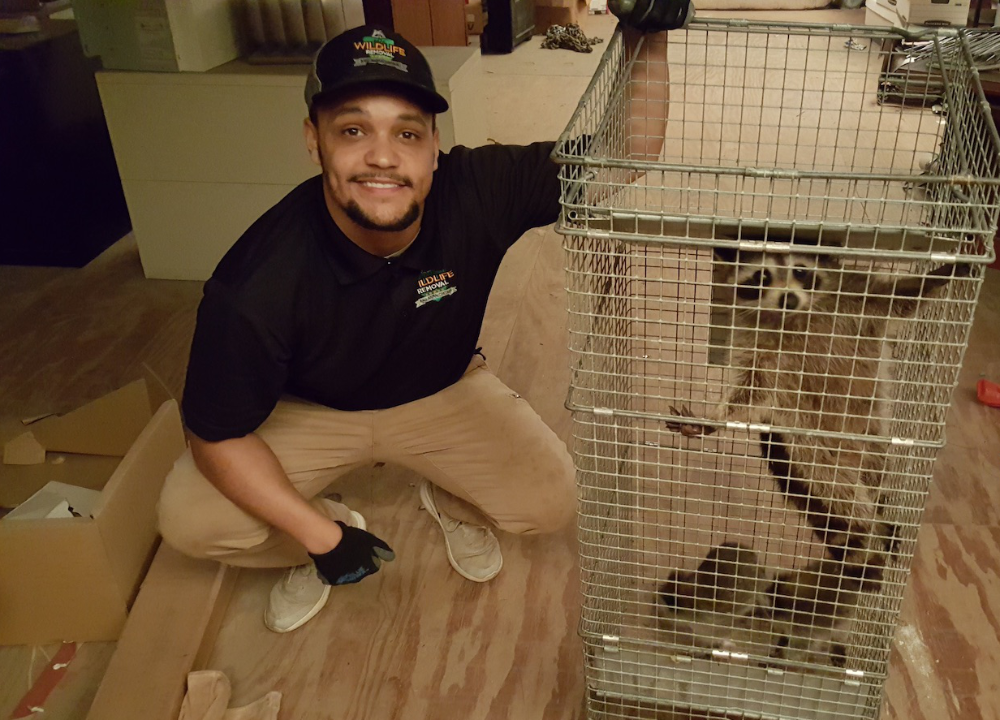 Wildlife trapper with a caged raccoon